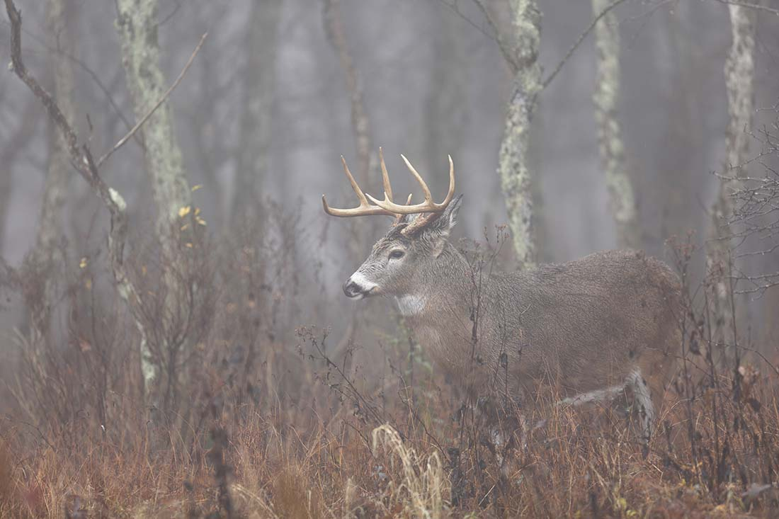 White-tailed deer in the fog